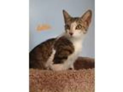 Adopt Lettie a Domestic Short Hair