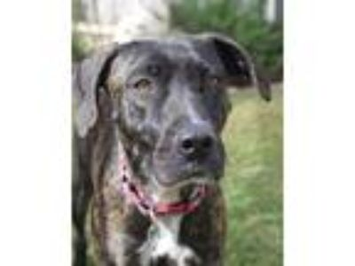Adopt Lena a Brindle - with White Retriever (Unknown Type) / Plott Hound / Mixed