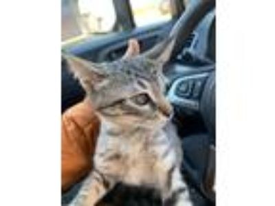 Adopt Dipsy a Gray, Blue or Silver Tabby American Shorthair (short coat) cat in