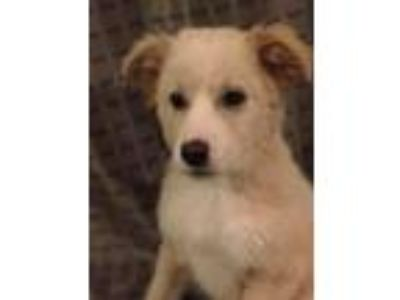 Adopt Maynard a White - with Brown or Chocolate Great Pyrenees / Husky / Mixed