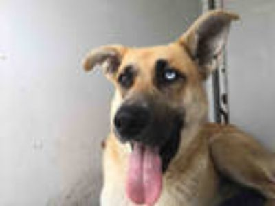 Adopt a Tan/Yellow/Fawn - with White German Shepherd Dog / Husky / Mixed dog in