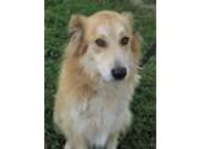 Adopt BILLIE a Great Pyrenees / Australian Shepherd / Mixed dog in Franklin