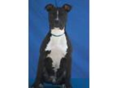 Adopt Buster a Pit Bull Terrier