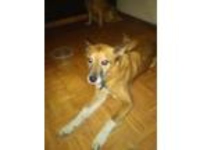 Adopt Spirit a Brown/Chocolate - with Black German Shepherd Dog / Thai Ridgeback