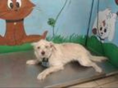 Adopt a White - with Tan, Yellow or Fawn Cairn Terrier / Mixed dog in Houston
