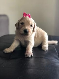 Goldendoodle PUPPY FOR SALE ADN-104535 - Amy  F1 Goldendoodles