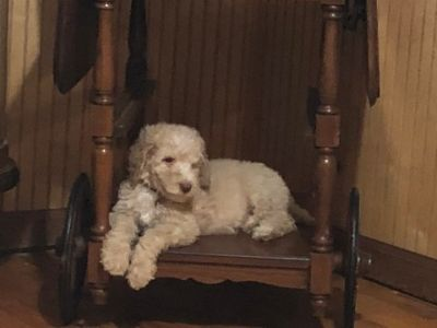 Poodle (Standard) PUPPY FOR SALE ADN-87064 - 10 Beautiful Babies
