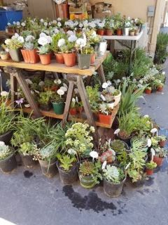 Lower priced healthy succulents and drought tolerant plants