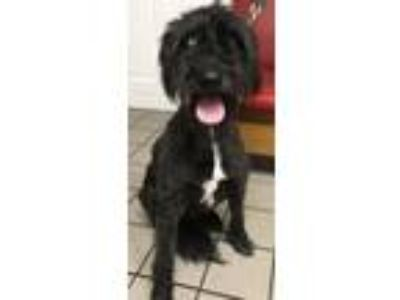 Adopt Clementine a Poodle, Standard Poodle