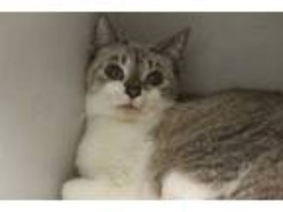 Adopt CAT2 a White (Mostly) Domestic Shorthair / Mixed (short coat) cat in
