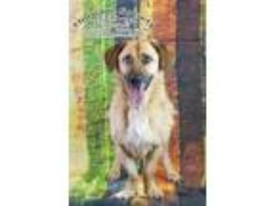 Adopt Chester a Basset Hound / Shepherd (Unknown Type) / Mixed dog in