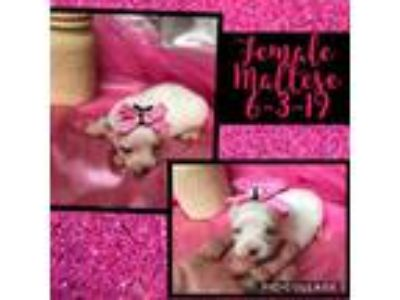 Registered Very Tiny Maltese Female and Male