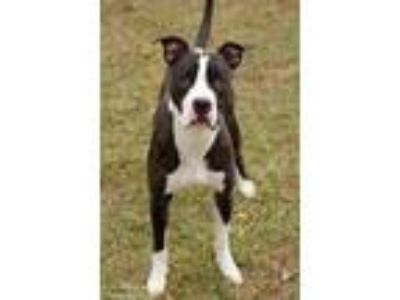 Adopt Theodore a Brindle American Pit Bull Terrier / Mixed dog in Owosso