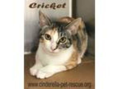 Adopt Cricket a Domestic Short Hair