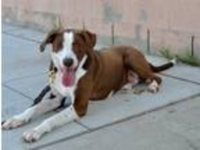 Adopt Ranger a Brown/Chocolate - with White English Pointer / Labrador Retriever