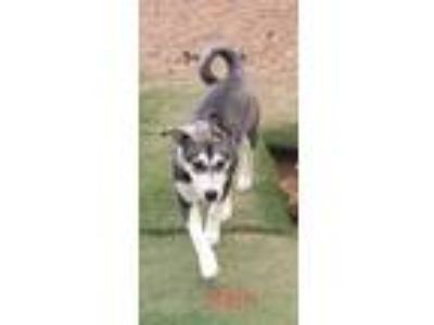 Adopt Rein a Gray/Silver/Salt & Pepper - with White Husky / Husky / Mixed dog in