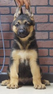 German Shepherd Dog PUPPY FOR SALE ADN-96362 - Amazing AKC German  Shepherd Puppies