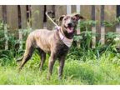 Adopt Tamin a Brindle Terrier (Unknown Type, Medium) / Shepherd (Unknown Type) /