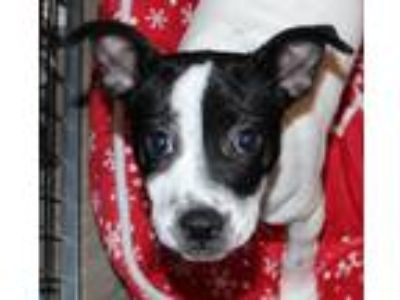 Adopt Mop a Mixed Breed, Boston Terrier