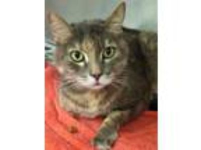 Adopt Tiger a Domestic Medium Hair