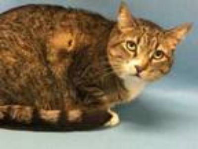 Adopt Hannah a Brown or Chocolate Domestic Shorthair / Mixed cat in Golden