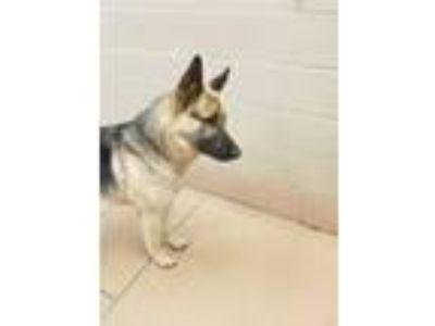 Adopt URGENT, in kill shelter a German Shepherd Dog / Mixed dog in Valrico