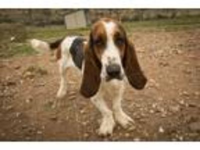 Adopt Brutus a Tricolor (Tan/Brown & Black & White) Basset Hound / Mixed dog in