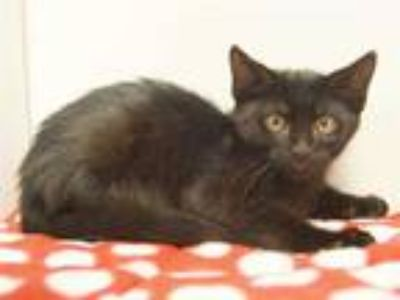 Adopt *BUGSY a All Black Domestic Shorthair / Mixed (short coat) cat in