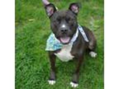 Adopt Coco Chanel a Pit Bull Terrier, Mixed Breed