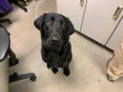 Adopt *ALANA a Black Labrador Retriever / Mixed dog in Brighton, CO (25551690)