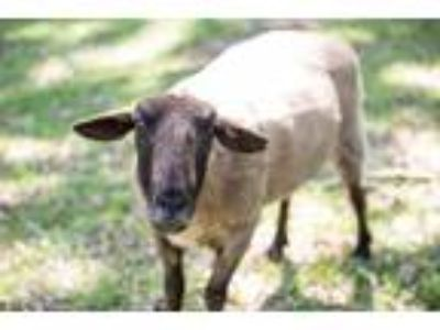 Adopt Mr. Einstein a Sheep