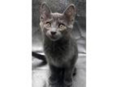 Adopt Ace a Gray or Blue Domestic Shorthair (short coat) cat in Gaithersburg