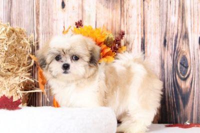 Shih Tzu PUPPY FOR SALE ADN-98800 - Trixie Snuggly Female ShihTzu Puppy