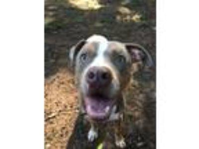Adopt Beckett a American Staffordshire Terrier, Pointer