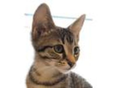 Adopt Tails a Brown Tabby Domestic Shorthair / Mixed cat in Palatine