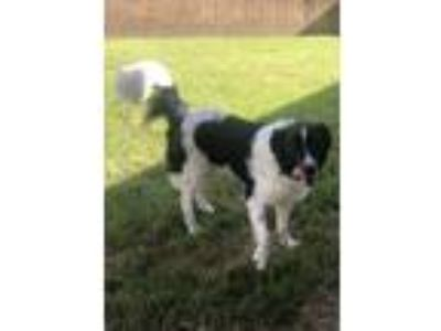 Adopt PINKY a Border Collie