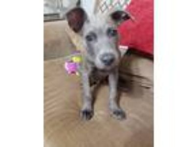 Adopt Tex a Gray/Silver/Salt & Pepper - with White Pit Bull Terrier / Mixed dog