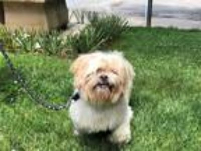Adopt CHARLIE a White - with Tan, Yellow or Fawn Shih Tzu / Mixed dog in Hampton
