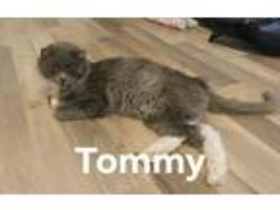 Adopt Tommy a Gray or Blue (Mostly) Domestic Mediumhair (medium coat) cat in