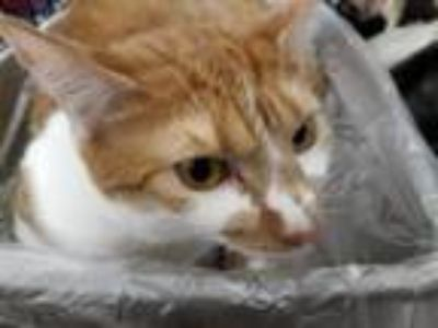 Adopt Sweettart a Domestic Short Hair, Tabby