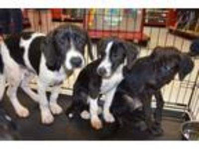Adopt Perry a Black - with White Mixed Breed (Medium) dog in Kennesaw