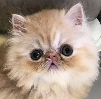 CAMEO TABBY Persian Kitten – CFA Grand Champion Parents - Quality