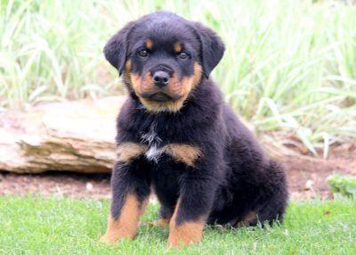 Rottweiler PUPPY FOR SALE ADN-79228 - Rottweiler Puppy for Sale