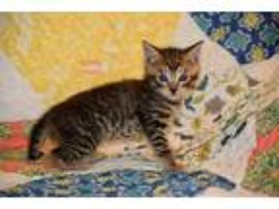 Adopt Blinky a Brown Tabby Domestic Shorthair (short coat) cat in Toms River