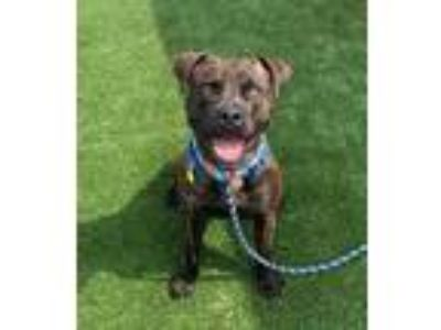 Adopt Hendrix II 99 a Black American Pit Bull Terrier / Boxer / Mixed dog in