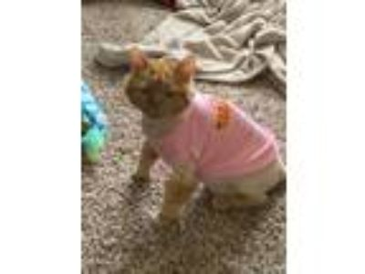 Adopt Sunshine a Orange or Red Maine Coon (long coat) cat in Franklinville