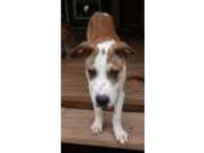Adopt Haskell a Red/Golden/Orange/Chestnut - with White Terrier (Unknown Type