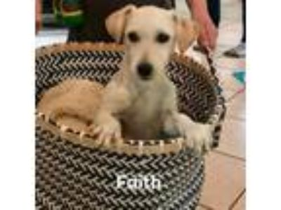 Adopt Faith a Wirehaired Terrier