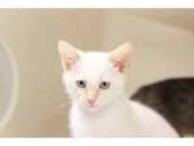 Adopt ZEUS a White (Mostly) Domestic Shorthair / Mixed (short coat) cat in