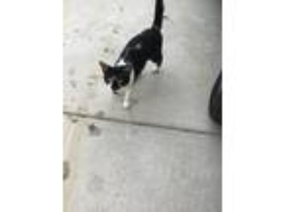 Adopt George a Black & White or Tuxedo Domestic Mediumhair cat in Ocala